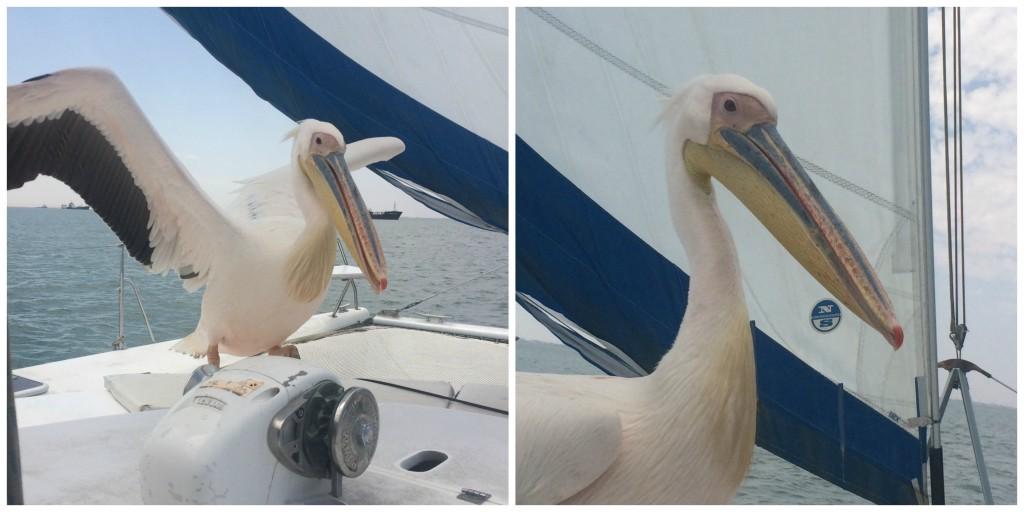 A pelican visitor