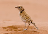 THE DUNE  LARK FLY IN – 9 NIGHTS – NAMIBIA