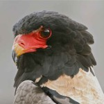 THE BATELEUR – 13 NIGHTS – SOUTH AFRICA