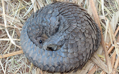 To protect itself, pangolins can roll up into a near-perfect ball, covering their faces and undersides, which aren't as tough as their keratin scales. PHOTO: APWG, courtesy of Zoological Society of London