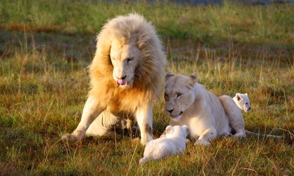 pumba-white-lions