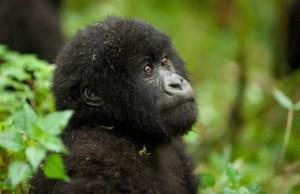 RW-VO-gorilla-09-0089
