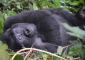 THE MUBARE – 4 NIGHTS – RWANDA & UGANDA