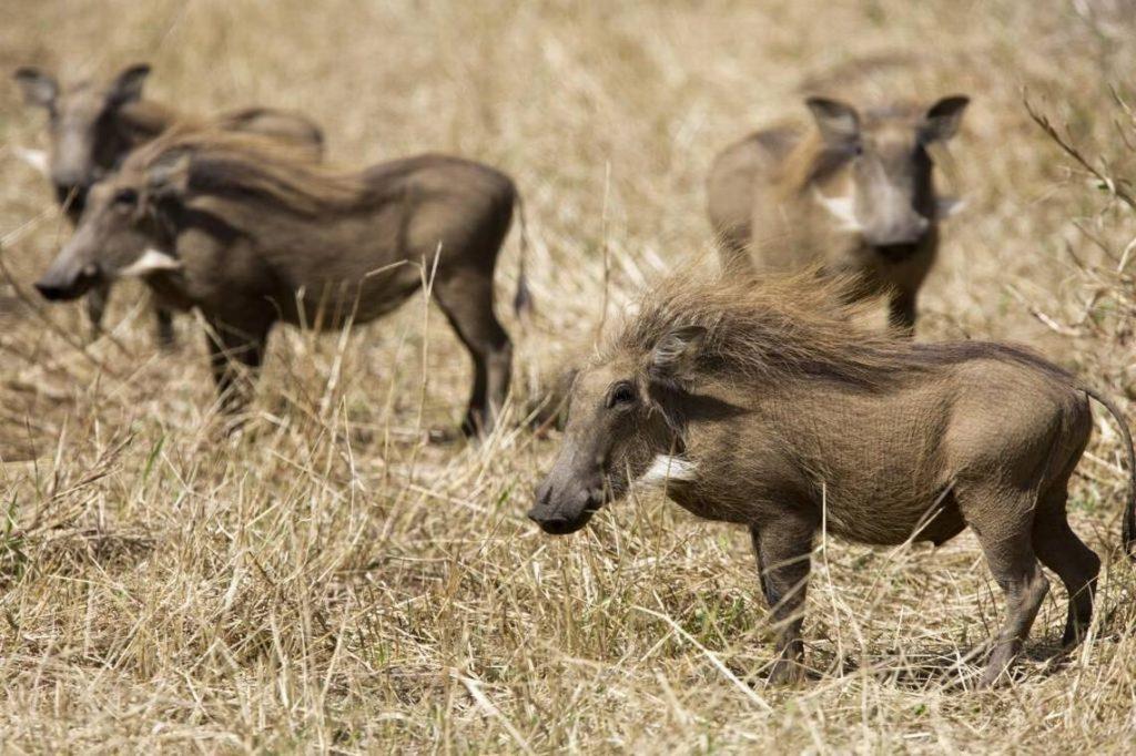 Gorongosa National Park warthog