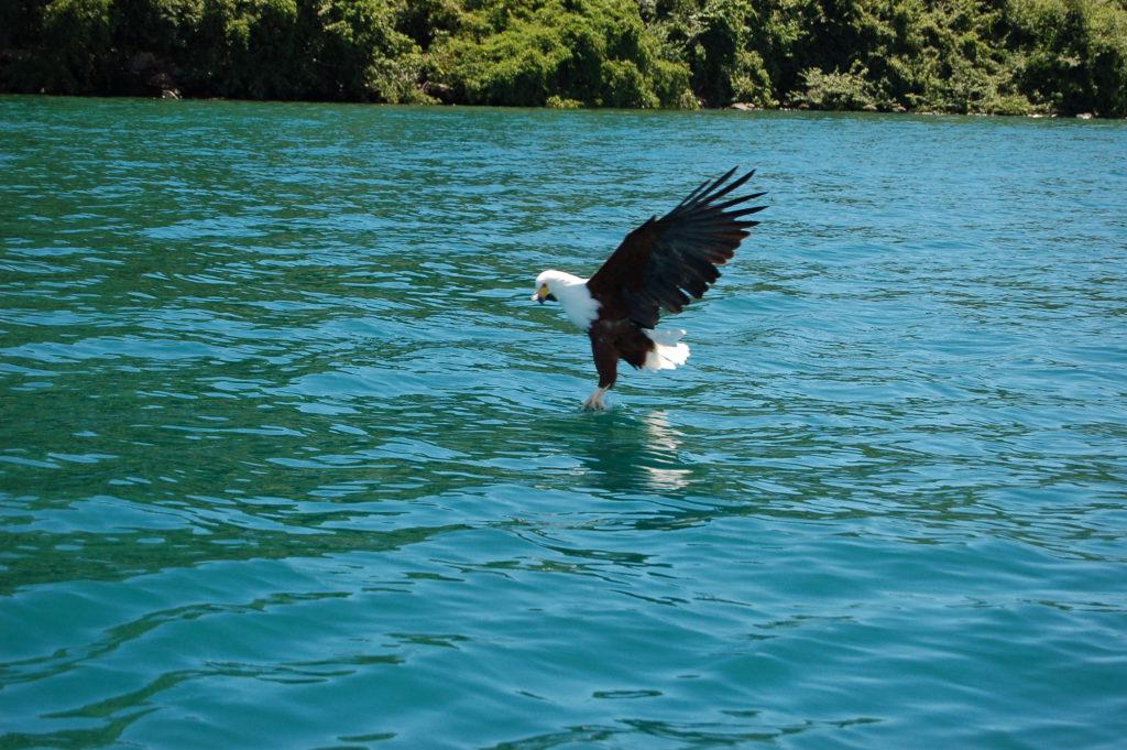 Birdlife Lake Malawi