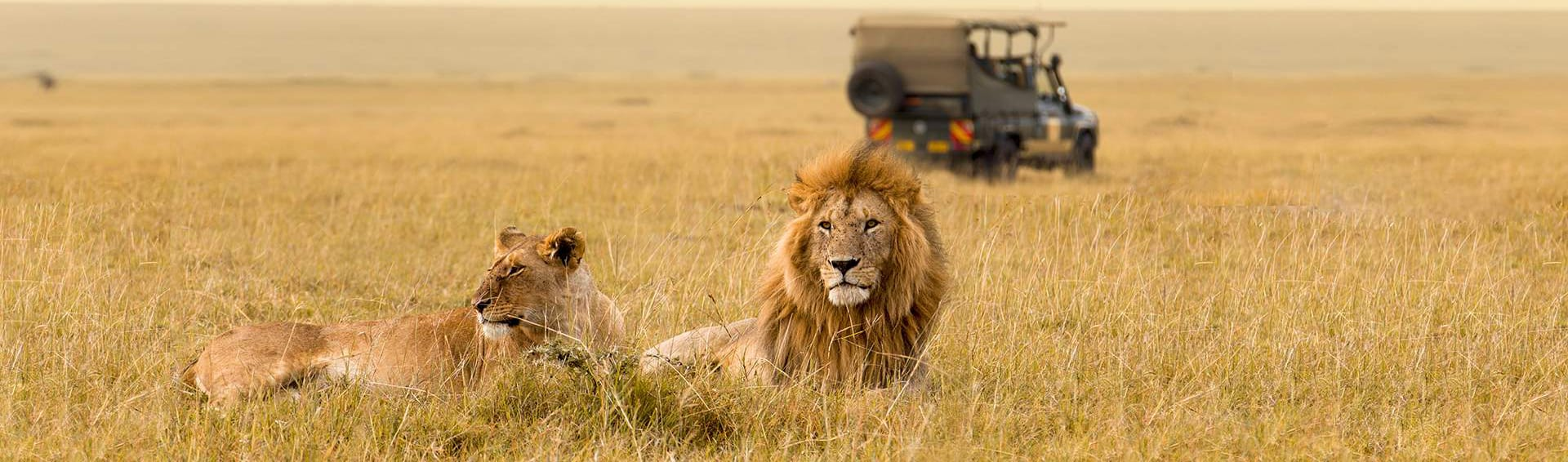 Lions laze in the expansive African grasslands.